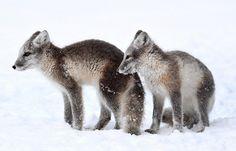 [EXPLORE] Tiriganniak | Arctic Foxes | Vulpes lagopus