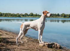 "See our web site for even more relevant information on ""English Pointer"". It is actually a superb area for more information. Pointer Puppies, Pointer Dog, Akc Breeds, Black Lab Puppies, Purebred Dogs, German Shorthaired Pointer, Hunting Dogs, Family Dogs, Archery"