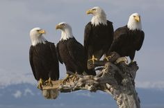 majestic bald eagles