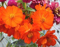 Cosmos sulphureus Seeds Organic Cosmos 'Diablo' Annual Cosmos Great for Butterfly Gardens