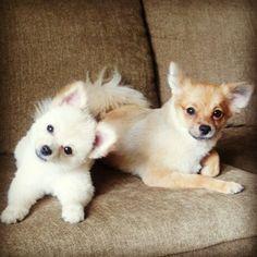 Coco and Malibu! Pomeranians, Dogs And Puppies, Bear, Cute, Animals, Animales, Animaux, Kawaii, Pomeranian