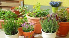 Auch in kleinen Blumentöpfen gedeihen Kräuter ganz hervorragend.