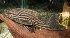 Royal Pleco L190 Panaque nigrolineatus