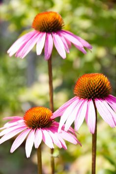 The Wonders Of Echinacea