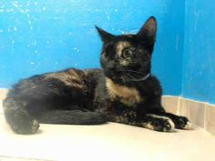 TO BE DESTROYED 9/1/13 Brooklyn Center  My name is ASHLEY. My Animal ID # is A0975978. I am a female black and orange domestic sh mix. The shelter thinks I am about 7 MONTHS old. https://www.facebook.com/photo.php?fbid=657633967581772=a.576546742357162.1073741827.155925874419253=3