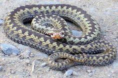 Käärmeet ovat jalattomia matelijoita.