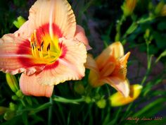 Morning daylily