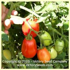 Heidi Tomato - 90 days, semi-determinate (Victory) A flavorful paste variety!