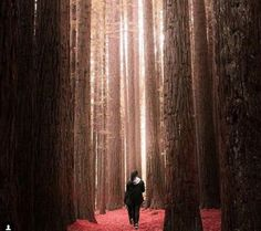 The redwood forest in the Great Otway National Park, Great Ocean Road journey, Victoria, Australia. Photo: azmal malik