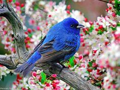 Blue bird amoung the dog wood.