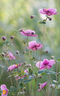 Anemone hupehensis 'Prinz Heinrich' (Herfstanemoon) prachtige herfstbloeier, mooi in grote groep, mooi bij siergrassen, hebben tijd nodig om zich te vestigen