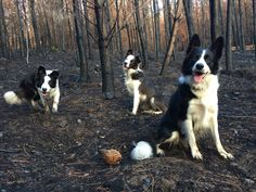 After the worst wildfire season in Chile\u0027s history, border collies are spreading seeds to regrow the forest by running, something they know how to do.
