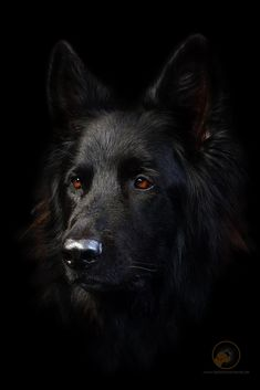 Wicked Training Your German Shepherd Dog Ideas. Mind Blowing Training Your German Shepherd Dog Ideas. Black Shepherd, Black German Shepherd Dog, German Shepherds, Best Dog Training, Puppy Obedience Training, Sweet Dogs, Positive Dog Training, Easiest Dogs To Train, Working Dogs