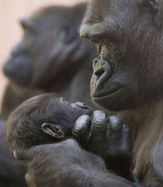 Gorilla and her Baby... The incredibly beautiful love of a mother.