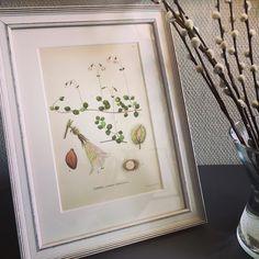 12-dagars-auktion startades idag på #tradera  #linnea ur #nordensflora #1922 i en alldeles #ny #fin #ram med skön #vintage #patina  #swedish #botanical #flower #frame #interiordesign #scandinavianstyle #nordichome #nordicdesign #butterflyvintage