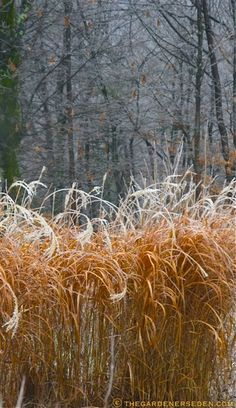 Morphing to a Beautiful Burnt-Orange, Miscanthus sinensis 'Purpurascens' Catches Frost, Ice and Snow, Remaining an Alluring Feature in the W...
