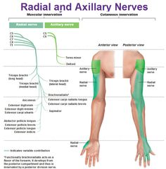 Radial and axillary nerves muscular and cutaneous innervation.