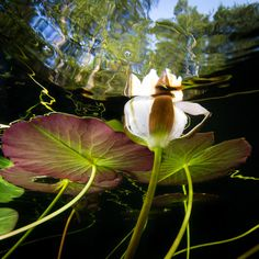 Waterlily by Niklasphotose