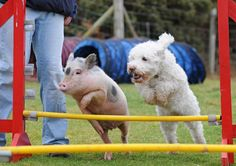 funny animals, piggi, critter, friends, real life, dogs, pigs, ador, race