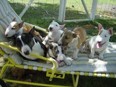 Beautiful litter of mini bull terriers!! I want them all.