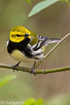 Black-throated Green Warbler - eastern North America and western Canada and cypress swamps on the southern Atlantic coast. Winters in Mexico, Central America, the West Indies and southern Florida. I Like Birds, Kinds Of Birds, All Birds, Pretty Birds, Little Birds, Beautiful Birds, Exotic Birds, Colorful Birds, Parus Major