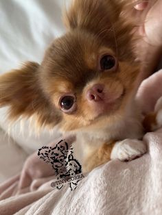 Cute Tiny Dogs, Tiny Puppies, I Like Dogs, Cute Dogs And Puppies, Cute Chihuahua, Chihuahua Puppies, Best Dog Breeds, Dog Signs, Cute Animal Pictures