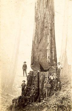 Lumberjacks with huge tree