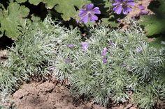 Artemisia schmidtiana 'Nana' (Alsem) | Tuinwinkel.nl