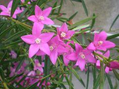 サザンクロス  サザンクロスの花言葉は「願いをかなえて」