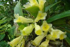 https://flic.kr/p/8AHv3E   Rodriguezia compacta   Rescate de un bosque talado