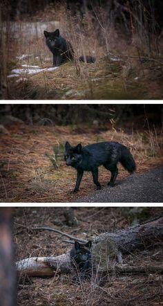 The Rare Beauty Of Black Foxes (15+ Pics)   Bored Panda
