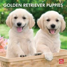 the most adorable puppies ever! #Golden #Retrievers
