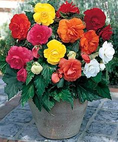 Begonia Mixture, Double - good flower for shaded areas