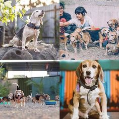 They've been through pain for human gain.. Let's help find homes for laboratory #RESQBeagles! To adopt: https://resqadoptions.typeform.com/to/YgJXV4  #bringhomethebeagle #namesNOTnumbers #ResQBeagles