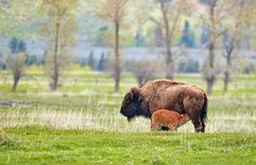 Spring Bison Encounter