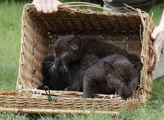 Twin Baby Panthers. I would like to adopt them and have them live in my office. Because who doesn't need a rescue panther?