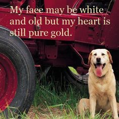Senior Pets Are Pure Gold! Senior pets are truly the BEST! Please visit your local shelter or check out your area rescues! Don't forget to check the. I Love Dogs, Puppy Love, Animal Nutrition, Old Dogs, Dog Quotes, Animal Quotes, Mans Best Friend, Best Dogs, Dogs And Puppies