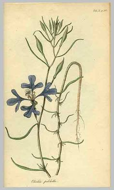 Drawing made from Lewis' collected specimen, made by German-American botanist in 1814, Frederick Pursh. Pursh also named and classified Clarckia (after William Clark), + pulchella (beautiful)