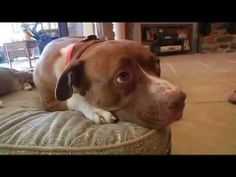 Pit Bull Saves Cat From Coyote Attack