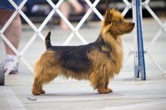 Australian Terrier, GCH CH Kambara's Zebulon