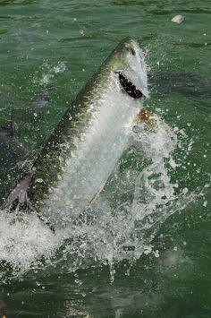 Tarpon fish jumping