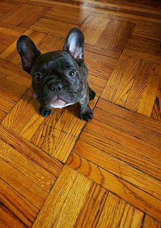 Curious Josie. #cute #dog #puppy @American Kennel Club