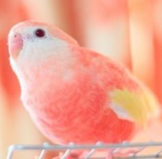 Pink Parakeets | Pink-Parakeet-Jewels's Profile Picture