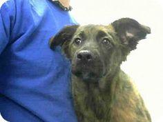 Atlanta, GA - German Shepherd Dog/Labrador Retriever Mix. Meet SATIN, a puppy for adoption. http://www.adoptapet.com/pet/12670536-atlanta-georgia-german-shepherd-dog-mix