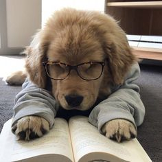 Everything About The Outgoing Golden Retriever Puppy Health Cute Little Animals, Cute Funny Animals, Funny Dogs, Cute Pets, Funniest Animals, Adorable Dogs, Cute Dogs And Puppies, Baby Dogs, Doggies