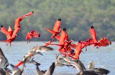Foto guará (Eudocimus ruber) por Jarbas Mattos | Wiki Aves - A Enciclopédia das Aves do Brasil