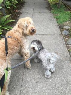 #PorterAndColby are the cutest!  #hotdiggity #hotdiggityPDX #dogsofportland #dogsofPDX #portlanddogs #pdxdogs #dogwalker #dogwalkersPDX #portlanddogwalker #dogstagram #dogsofinstagram #petsofinstagram#petstagram