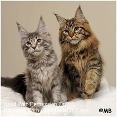 Dynamicats i want a Maine coon so bad!