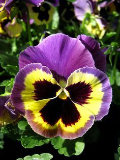 parts of a pansy flower   Pansy 'Delta Premium' -- no need for protection!