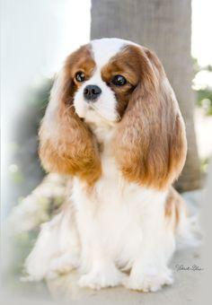 "Cavalier King Charles Spaniel ""Bridget"""